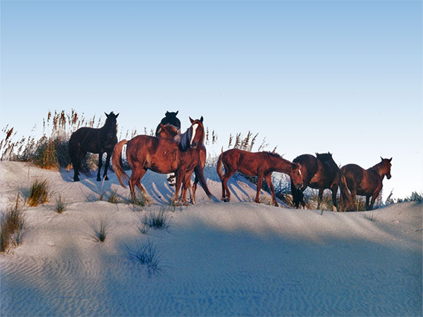 Image result for outer banks wild horse tours
