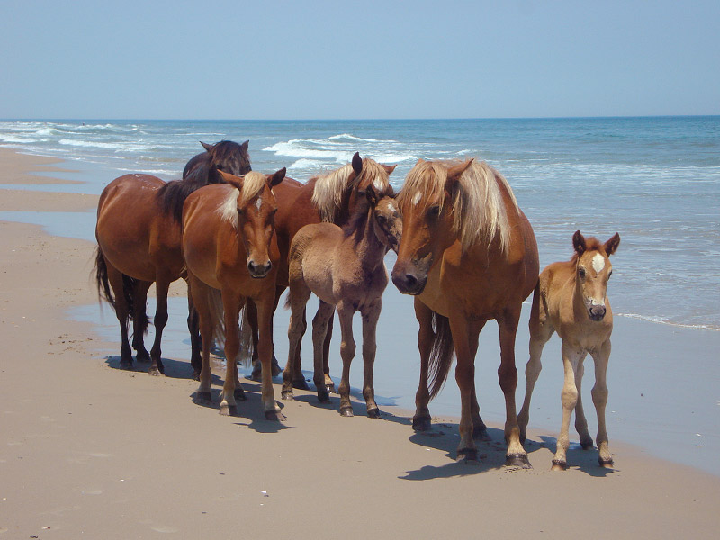 Outer Banks Wild Horses Find Them In