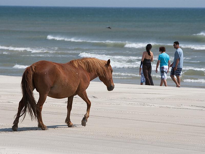 Wild Horses Corolla Nc Tour