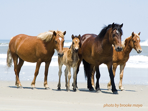 The Iconic Wild Horses of Corolla, NC
