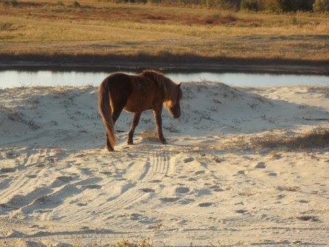 Gus taking his first steps in his new home. Photo: Corolla Wild Horse Fund