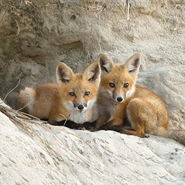 Wildlife Button - Image of Foxes