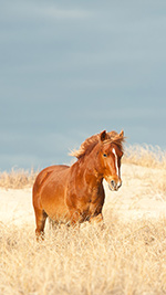 Outer Banks Wild Horse Wallpaper - iPhone 1080x1920