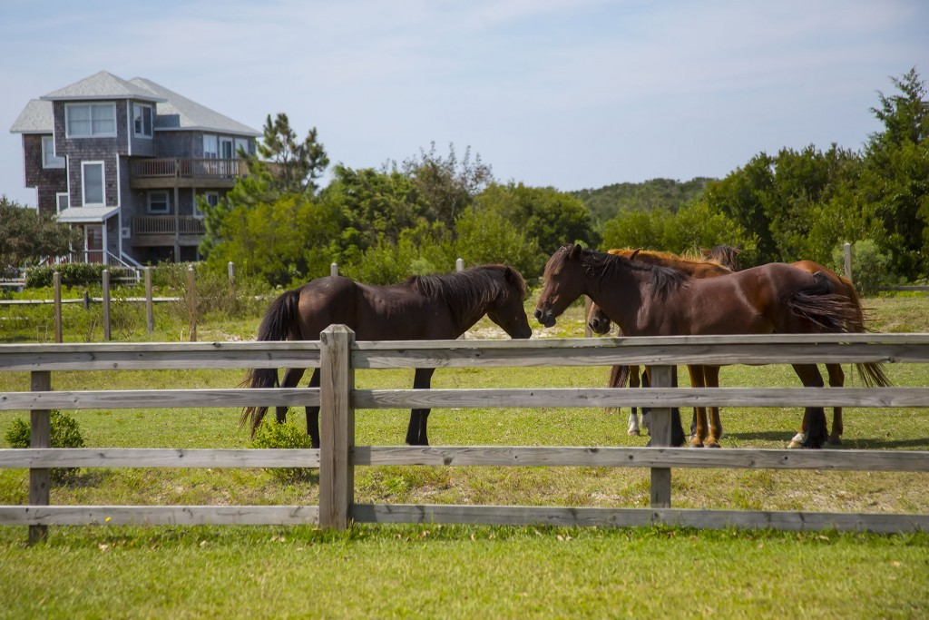 Outer Banks Wild Mustangs in Corolla