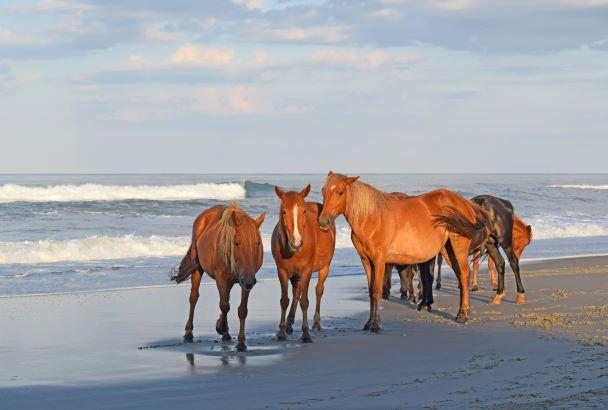 Corolla, NC Wild Horses